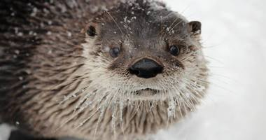 otter in the snow