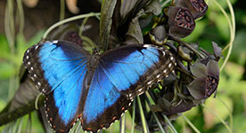 Close-up shot of a Blue Morpho butterfly